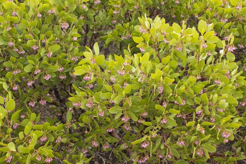 Kwitnąć Manzanita obrazy royalty free