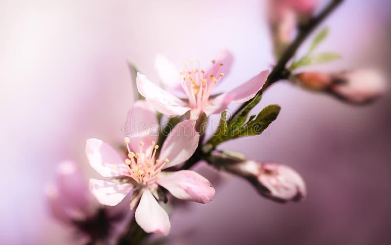 Kwitnąć migdałowego drzewa w górę tła obrazy stock