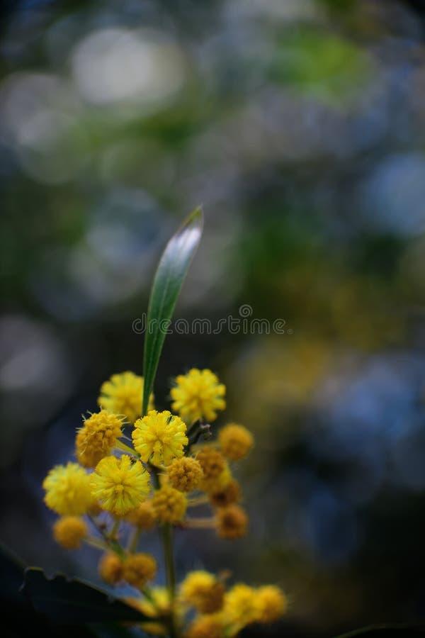 Kwitnąć mimozy drzewny Akacjowy pycnantha, złoty chrustowy zakończenie w w górę wiosny, jaskrawy kolor żółty kwitnie w Almeria obraz royalty free