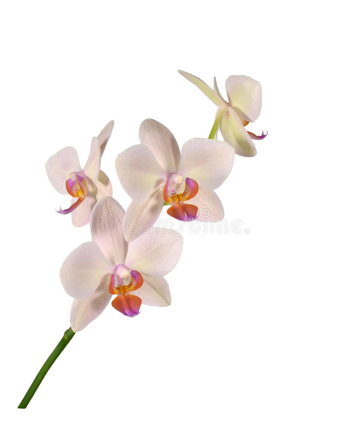 Kwitnąć piękny hybrydowy storczykowy Phalaenopsis, rozmaitości ` Margarita ` zdjęcie stock