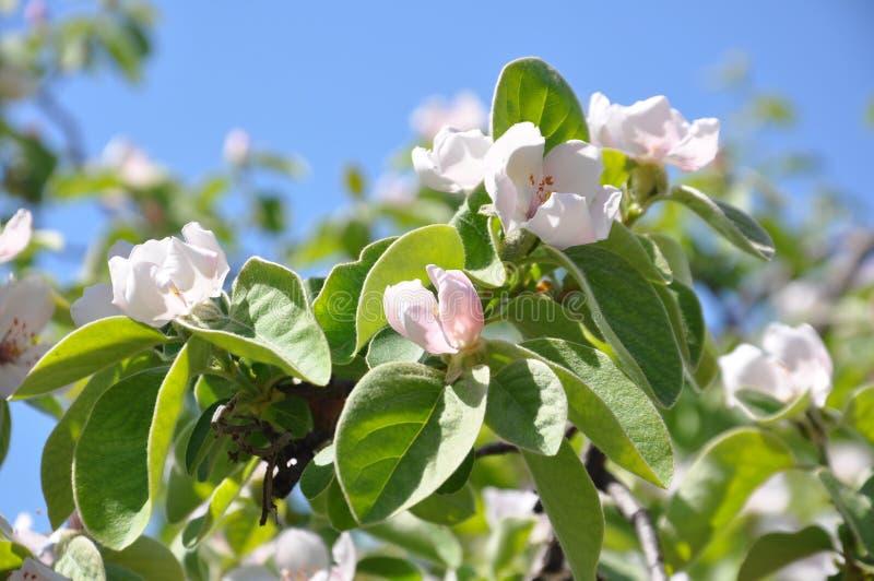 Kwitnąć pigwy drzewa w wiośnie, zbliżenie zdjęcie stock