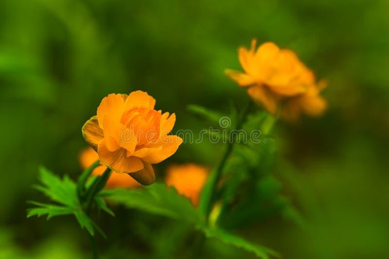 Kwitnąć pomarańczowi pączki trollius obrazy stock