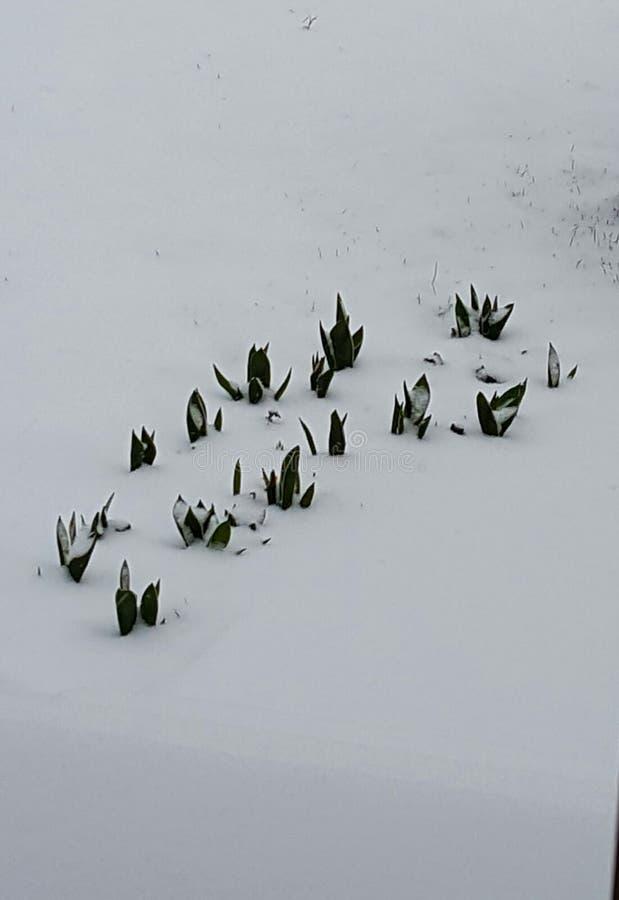 Kwitnąć przez śniegu fotografia stock