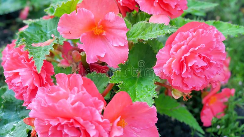 Kwitnąć różanych krzaki w ogródzie obrazy royalty free