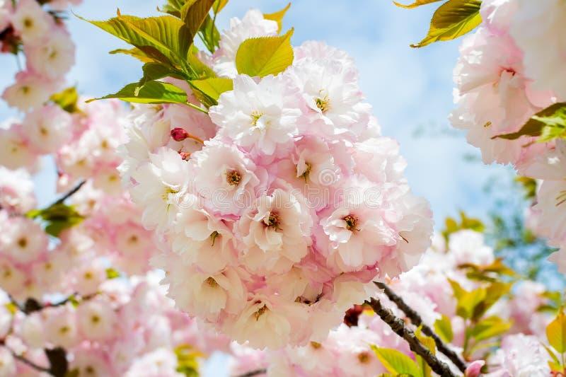 Kwitnąć różowy czereśniowy drzewo przeciw niebieskiemu niebu Sakura gałąź z kwiatami i małymi liśćmi Natura i botanika zdjęcie royalty free