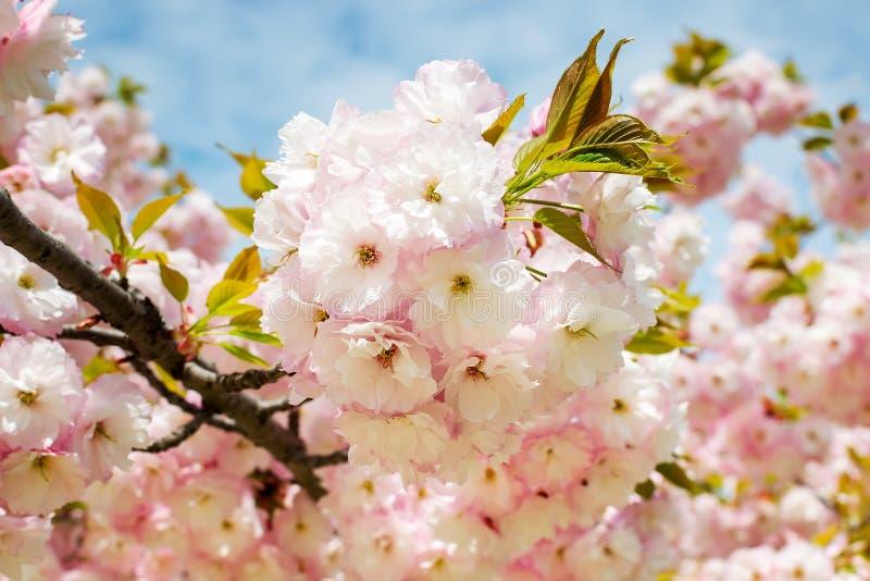 Kwitnąć różowy Sakura drzewo przeciw niebieskiemu niebu r Natura i botanika, drzewa z menchiami obraz royalty free