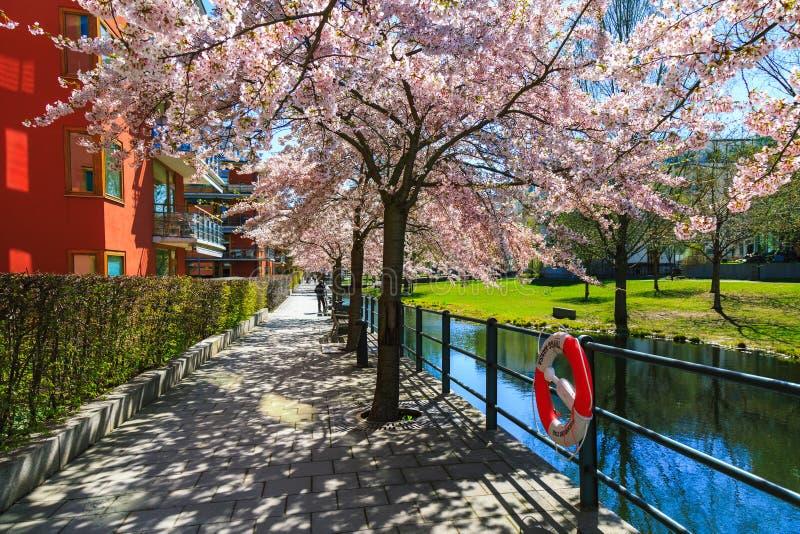 Kwitnąć Sakura drzewa w wiośnie, Sztokholm, Szwecja obrazy royalty free