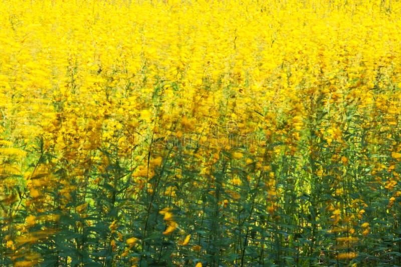 Kwitnąć Sunn konopie kwitnie chlanie w wiatrze zdjęcie stock