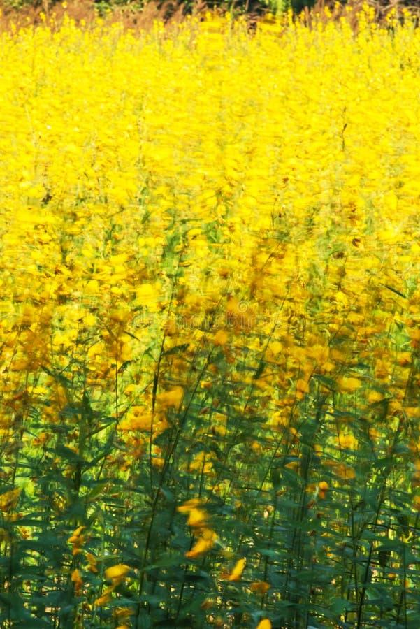 Kwitnąć Sunn konopie kwitnie chlanie w wiatrze obraz royalty free