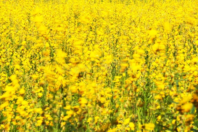 Kwitnąć Sunn konopie kwitnie chlanie w wiatrze fotografia stock