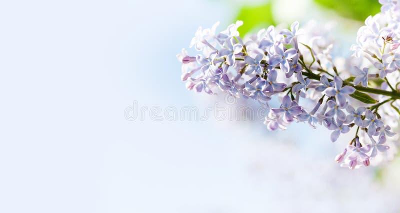 Kwitnąć Syringa bzów vulgaris krzaka Pięknej wiosny kwiecisty tło z wiązką fiołkowi purpurowi kwiaty obraz stock