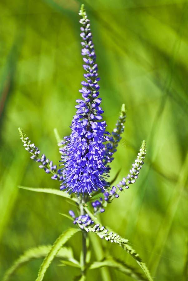 Kwitnąć Veronica longifolia lub longleaf przetacznika fotografia royalty free