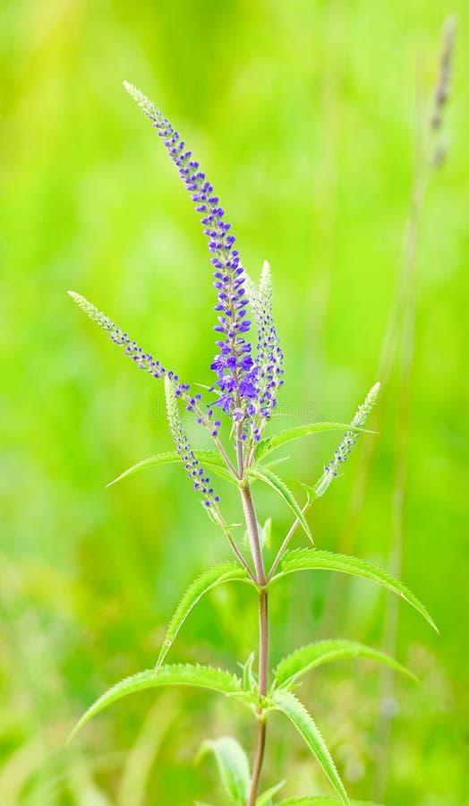 Kwitnąć Veronica longifolia lub longleaf przetacznika obrazy royalty free