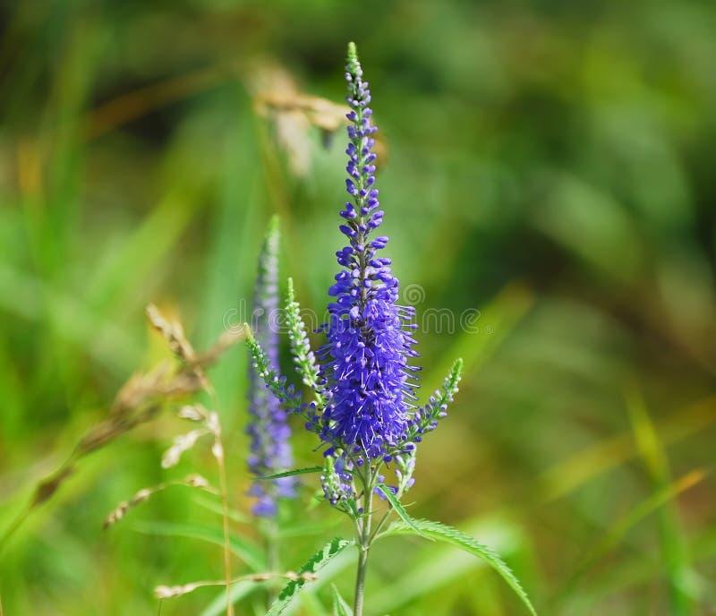 Kwitnąć Veronica longifolia lub longleaf przetacznika zdjęcia royalty free