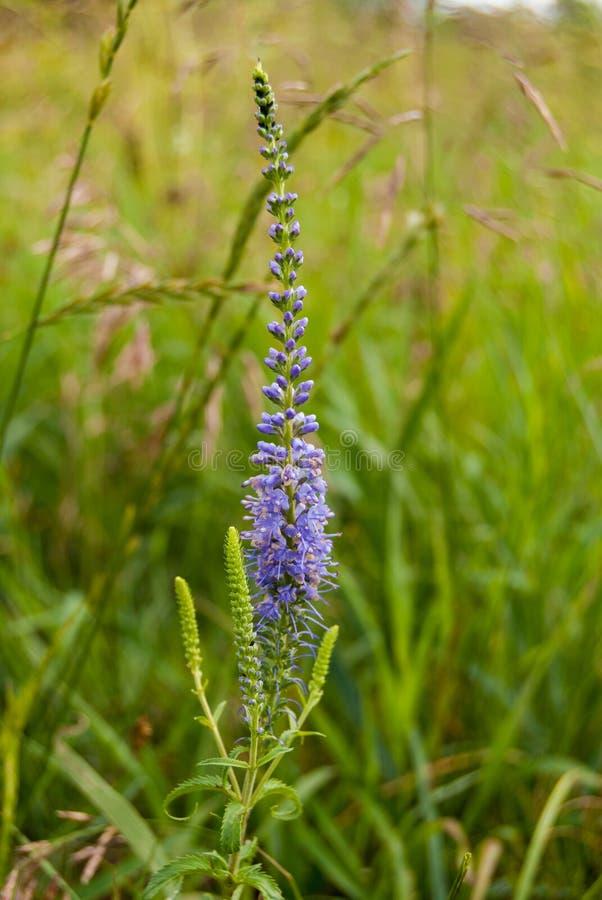Kwitnąć Veronica longifolia lub longleaf przetacznika w łące fotografia royalty free