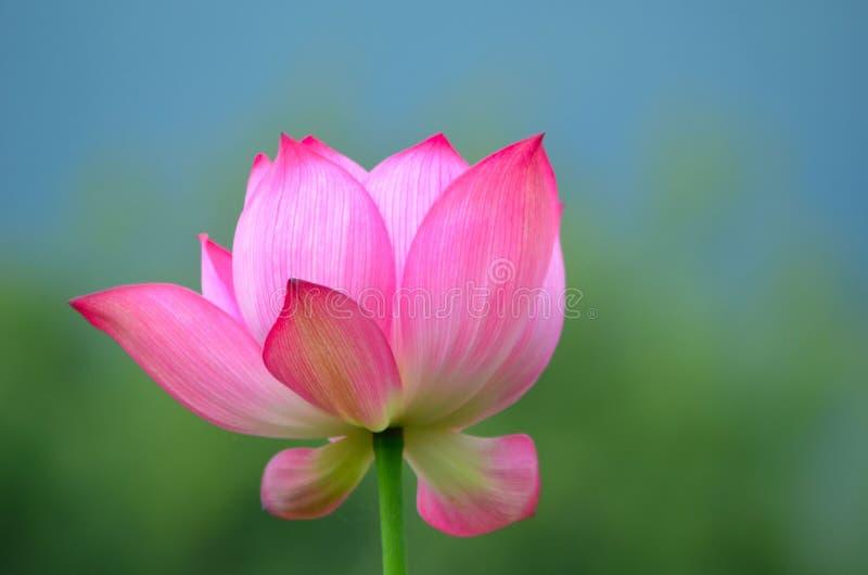 Kwitnąć w i święty lotosowy kwiat zdjęcia royalty free