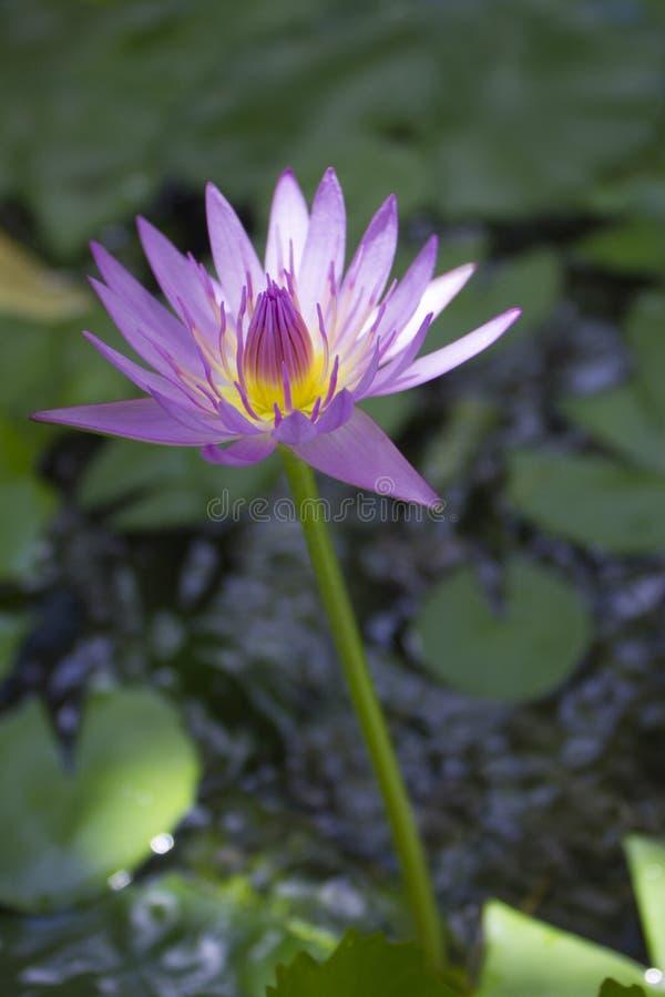 Kwitnąć waterlily Koh Samui Tajlandia fotografia royalty free