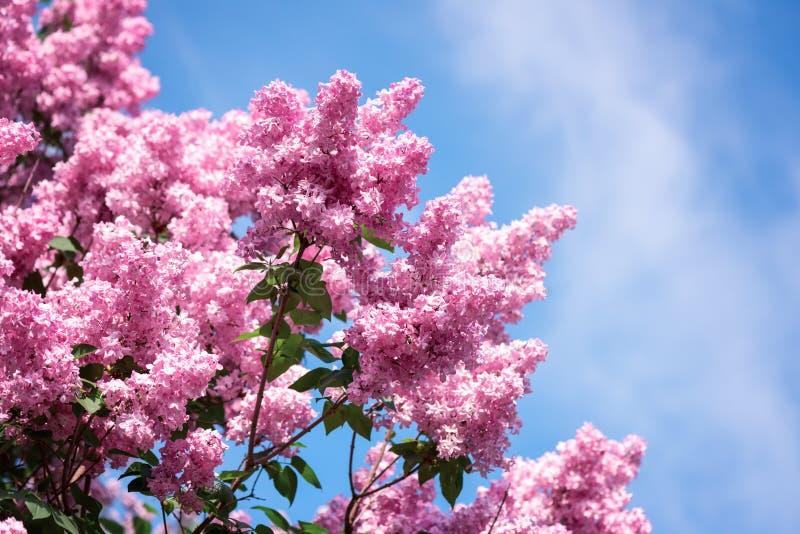 Kwitnąć wiosna jaskrawego różowego bzu kwitnie w ogródzie, naturalny kwiecisty tło obraz royalty free