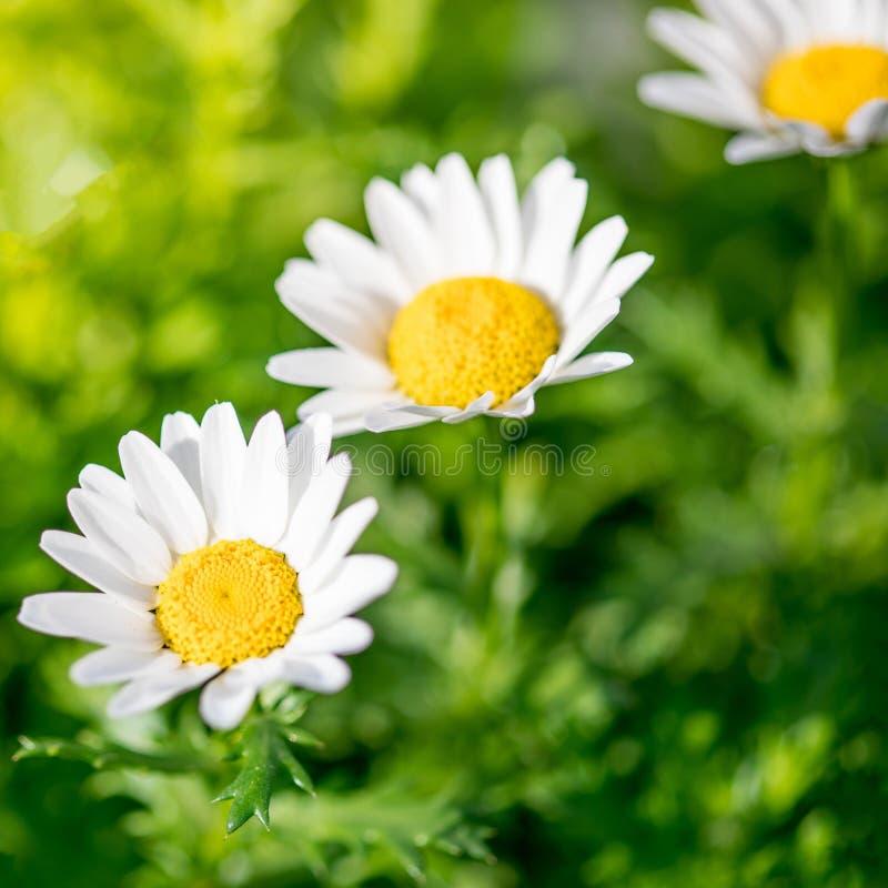 Kwitnąć wiosny łąkę z chamomile kwiatami Piękny kwitnienie krajobraz w słonecznym dniu pojęcia odosobniony natury biel obraz stock