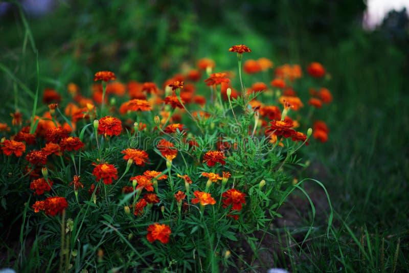 Kwitnąć z kwiatami nagietek zdjęcia royalty free
