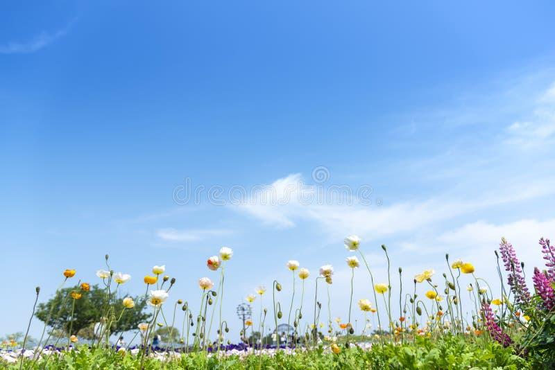 Kwitnąca łąka z maczkami kwitnie na niebieskiego nieba tle, światło słoneczne w lato sezonie zdjęcie royalty free