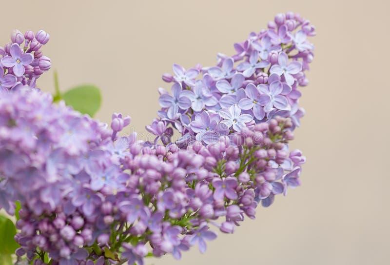 Kwitnąca bez gałąź w wiośnie Bzów kwiatów wiosna na beżowym tle zdjęcia stock