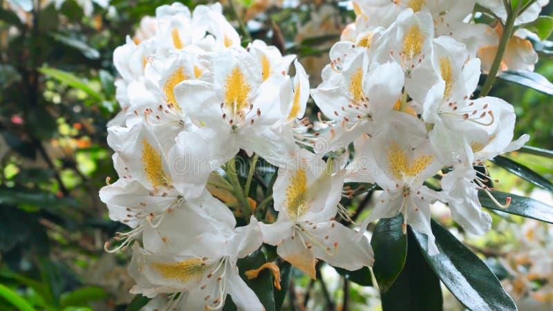 Kwitnąca biała azalia kwitnie zakończenie zdjęcie stock