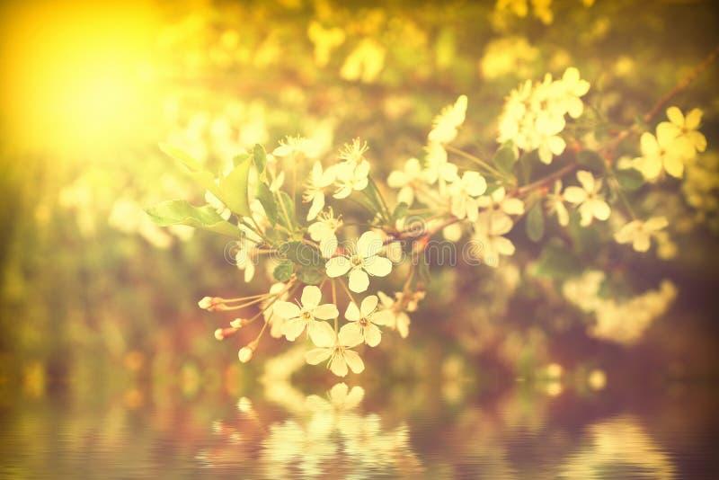 Kwitnąca biała wiśnia przy zmierzch wiśni gałąź blisko wodnych odbicie promieni światło Złoty kolor zdjęcie stock