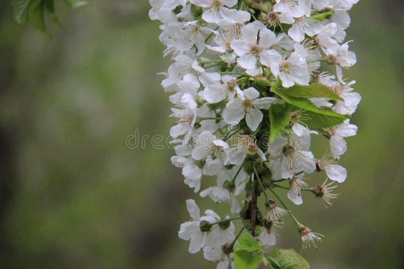 Kwitnąca Biała wiśnia Z plamy tłem zdjęcie stock
