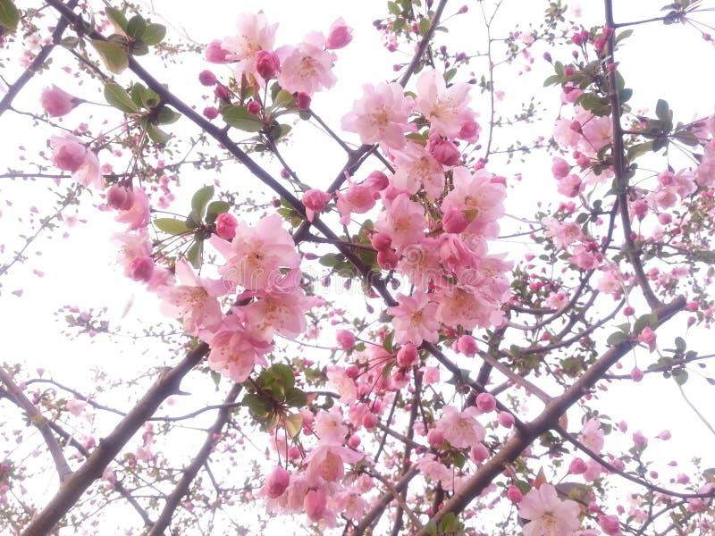 Kwitnąca brzoskwinia kwitnie w obywatela bagna parku w Hangzhou Xixi, Chiny zdjęcie stock