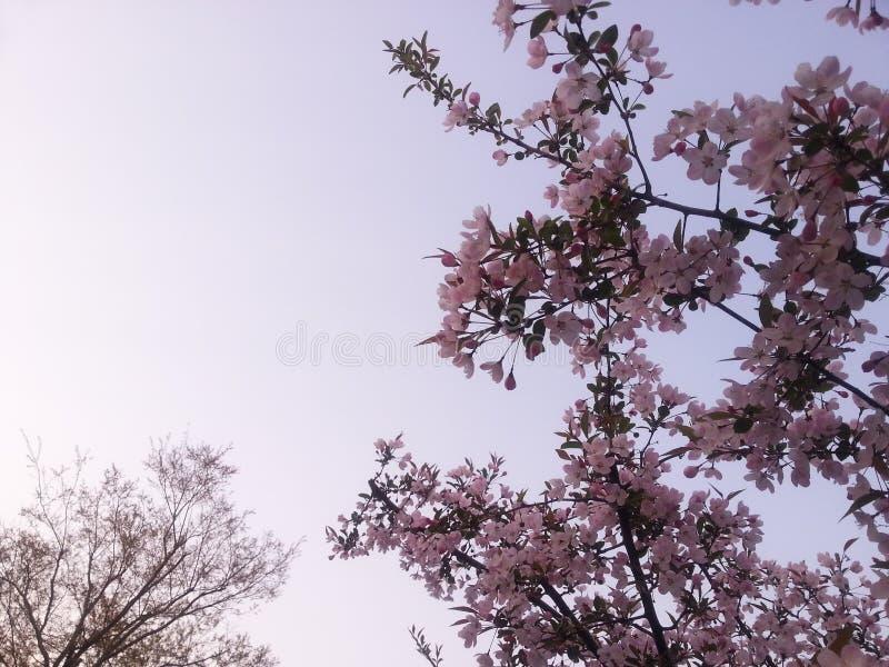Kwitnąca brzoskwinia kwitnie w obywatela bagna parku w Hangzhou Xixi, Chiny obrazy royalty free