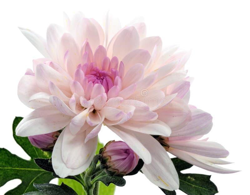 kwitnąca chryzantema zdjęcie royalty free