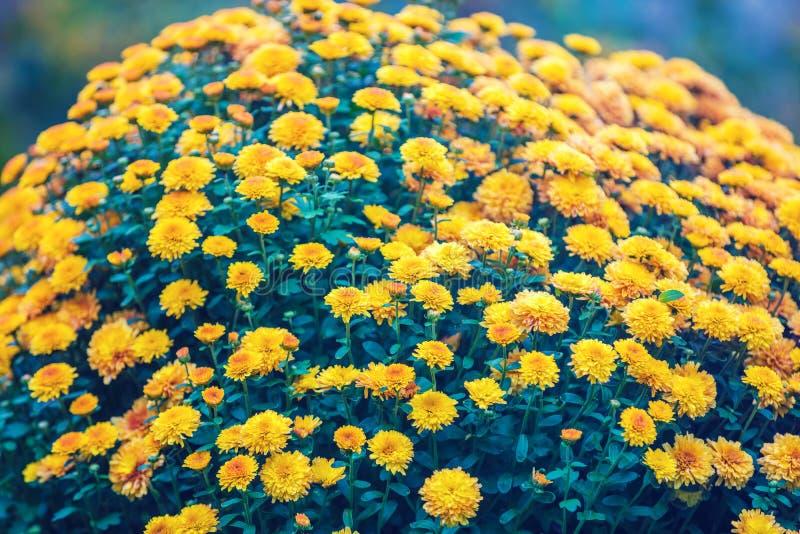 Kwitnąca chryzantema kwitnie w ogródzie obraz stock