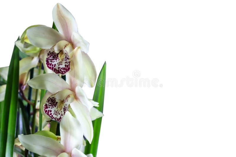Kwitnąca Cymbidium orchidea odizolowywająca na białym tle Hybrydowy egzotyczny azjaty ogródu kwiat, tropikalna orchidea w pełnym  zdjęcia stock