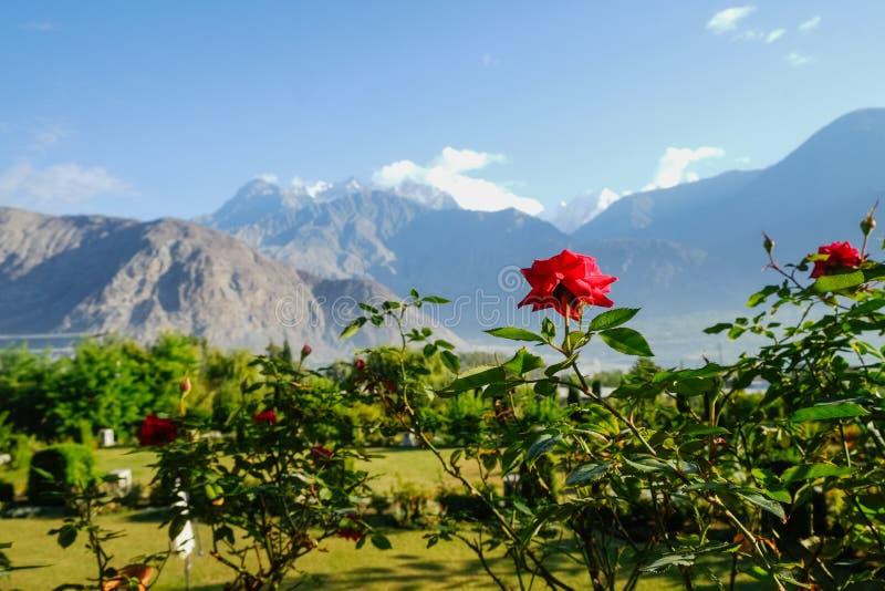 Kwitnąca czerwieni róża przeciw krajobrazowemu widokowi Karakoram pasmo górskie Gilgit baltistan, Pakistan obraz stock