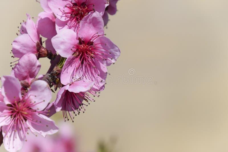 Kwitnąca dzika brzoskwinia w ogródzie zdjęcie royalty free