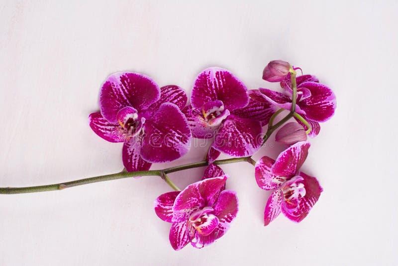 Kwitnąca gałąź ciemny fiołek z białą orchideą, phalaenopsis ja obrazy stock