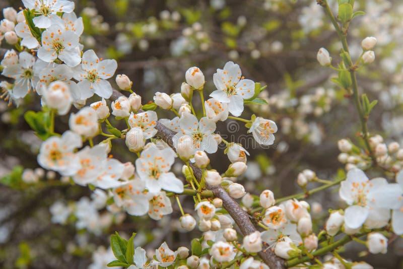 Kwitnąca gałąź czereśniowa śliwka, biali kwiaty kwitnął zdjęcie stock