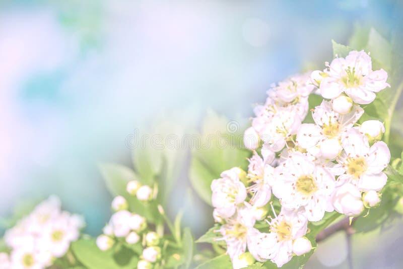 Kwitnąca gałąź w wiośnie, pastelu i miękkiej kwiecistej karcie, ilustracja wektor