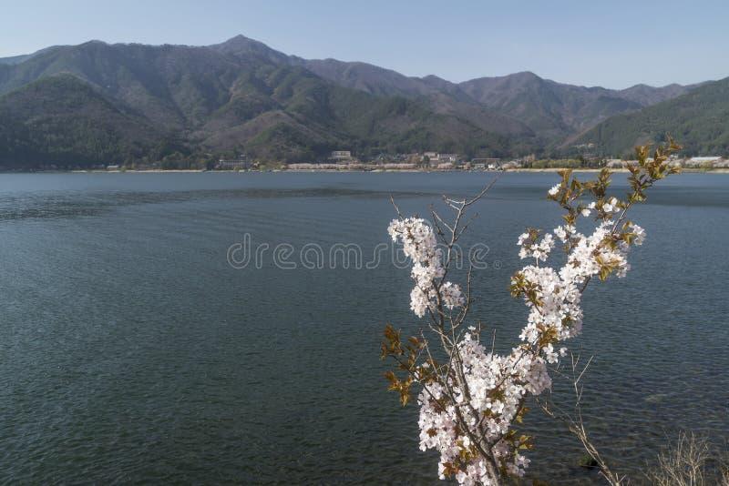 Kwitnąca gałąź z Kawaguchi jeziorem w tle, Yamanashi prefektura, Japonia obraz royalty free