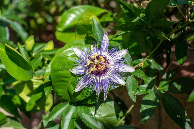 Kwitnąca gałąź zegarowy kwiat obraz royalty free