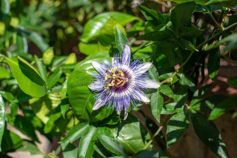 Kwitnąca gałąź zegarowy kwiat obrazy royalty free