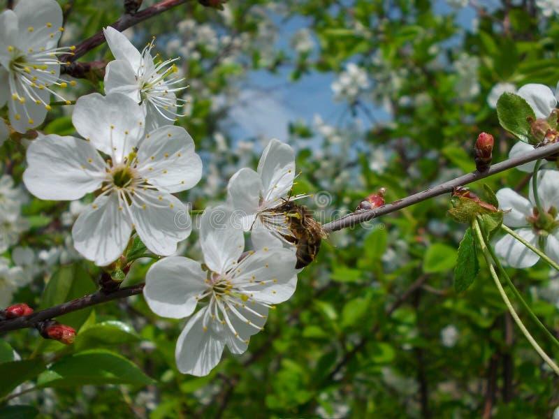 kwitnąca gałęziasta wiśnia obrazy stock