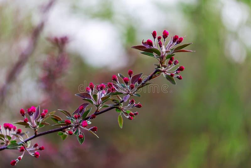 kwitnąca gałęziasta wiśnia Zakończenie fotografia stock