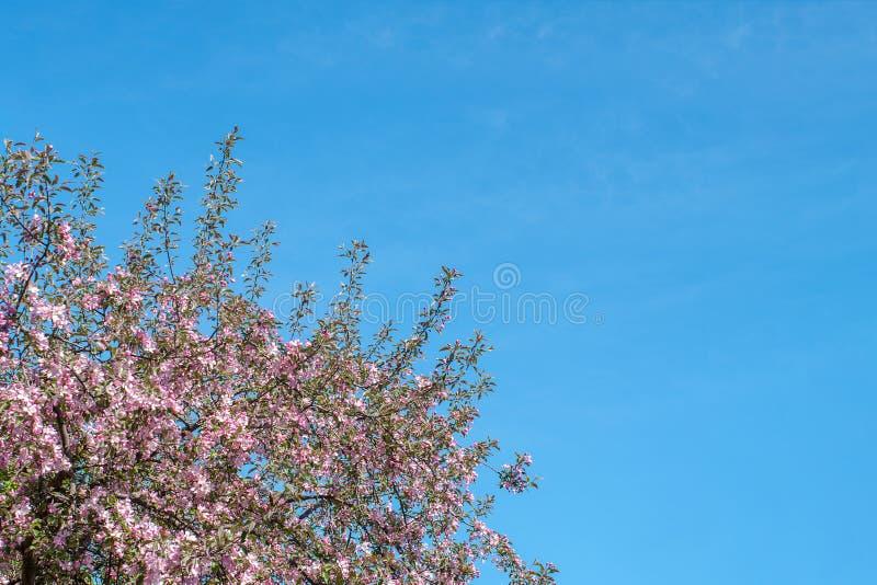 Kwitnąca jabłoń z menchiami kwitnie gałąź w słonecznym dniu na wiośnie przeciw niebieskiemu niebu Tło z kwiatami w kwiacie obrazy stock