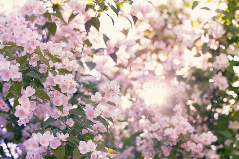 Kwitnąca jabłoń z słońce racą zdjęcia stock