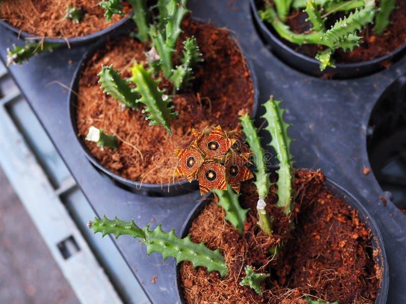 kwitnąca kaktusowa pomarańcze fotografia stock
