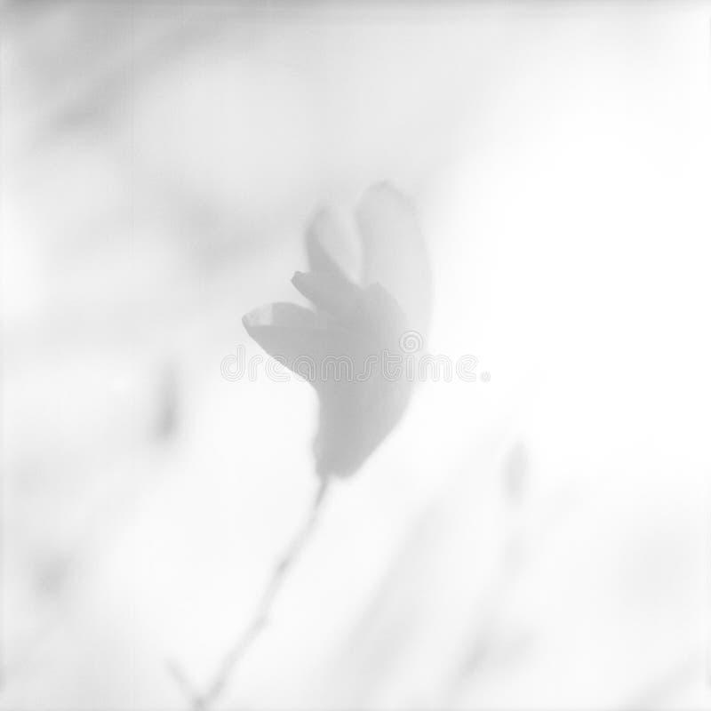 Kwitnąca kwiat magnolia z zielonymi liśćmi, żyje naturalną naturę zdjęcie stock