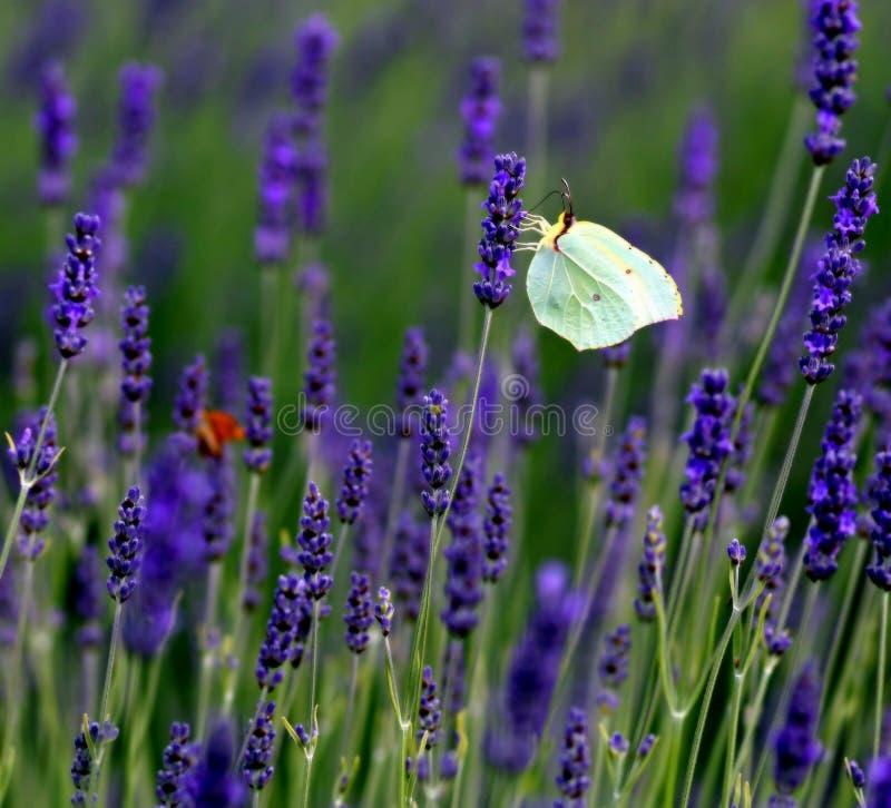 Kwitnąca lawenda z uroczy motyle fotografia royalty free
