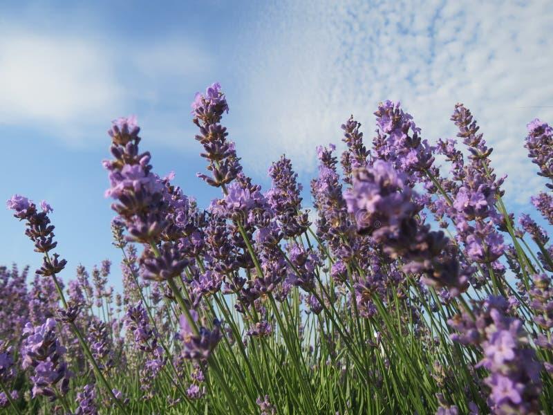 Kwitnąca lawenda zamknięta w górę pola przeciw błękitnemu chmurnego nieba tłu wewnątrz fotografia stock